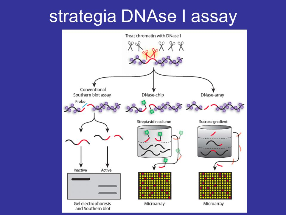 throughput analysis of DNAse Historically, the simplest method to robustly identify active gene regulatory elements has been enzymatic digestion of nuclear DNA by nucleases such as DNaseI.