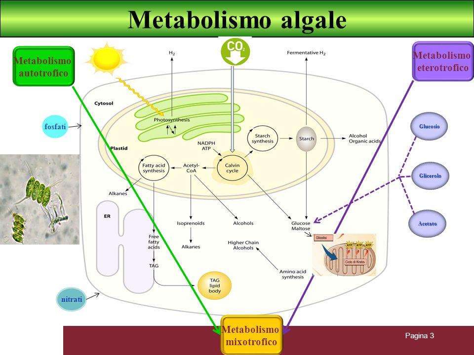 Pagina 3 Metabolismo algale Glucosio Glicerolo Acetato Metabolismo autotrofico Metabolismo eterotrofico Metabolismo mixotrofico nitrati fosfati