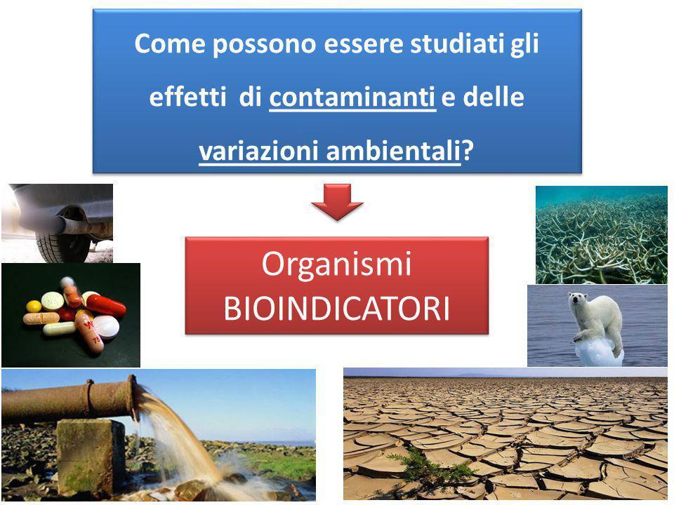 Come possono essere studiati gli effetti di contaminanti e delle variazioni ambientali? Organismi BIOINDICATORI Organismi BIOINDICATORI