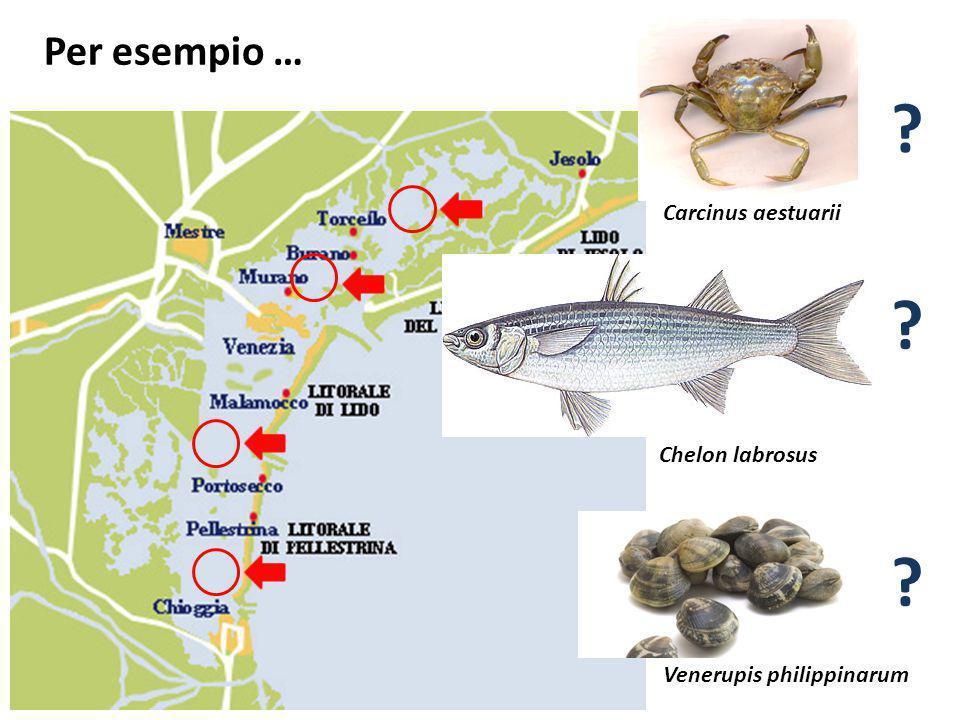 Per esempio … Chelon labrosus Carcinus aestuarii Venerupis philippinarum ? ? ?