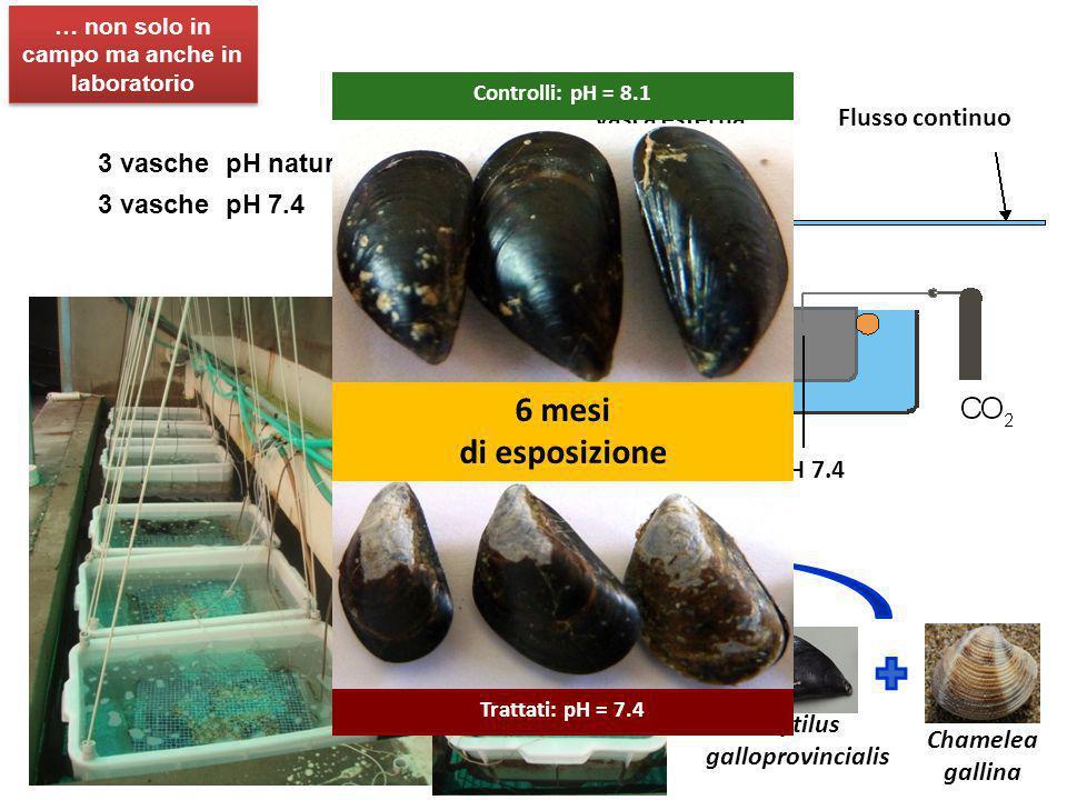 3 vasche pH naturale 3 vasche pH 7.4 33 x pH 8.1 33 x pH 7.4 Vasca esterna Flusso continuo Chamelea gallina Mytilus galloprovincialis … non solo in ca