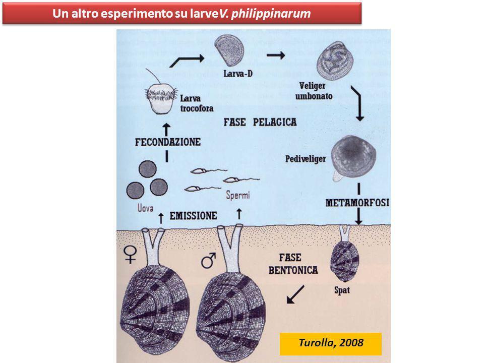 Un altro esperimento su larveV. philippinarum Adulti Mantenuti a 22°C per 1 mese (pH 8.1, 32 psu) Da 15 femmine Da 15 maschi 1 ora dopo la fecondazion