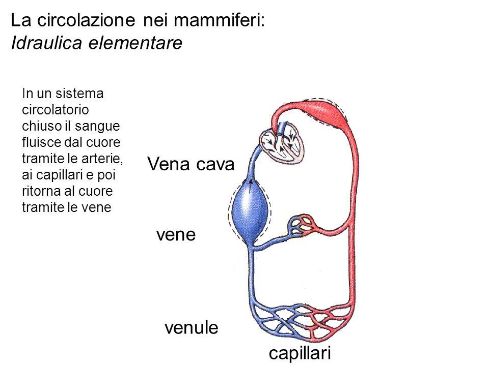 capillari venule vene Vena cava La circolazione nei mammiferi: Idraulica elementare In un sistema circolatorio chiuso il sangue fluisce dal cuore tramite le arterie, ai capillari e poi ritorna al cuore tramite le vene