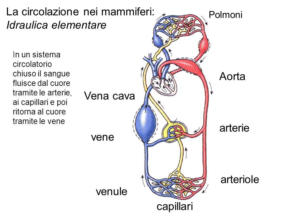Aorta arterie arteriole capillari venule vene Vena cava Polmoni La circolazione nei mammiferi: Idraulica elementare In un sistema circolatorio chiuso il sangue fluisce dal cuore tramite le arterie, ai capillari e poi ritorna al cuore tramite le vene