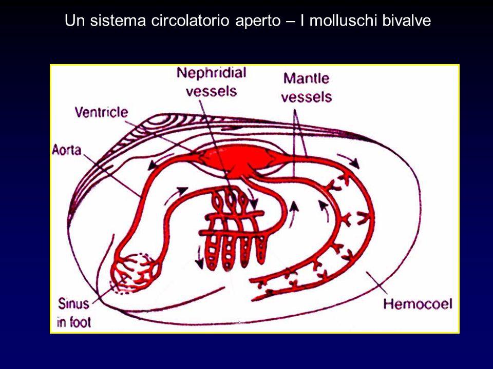 Un sistema circolatorio aperto – I molluschi bivalve