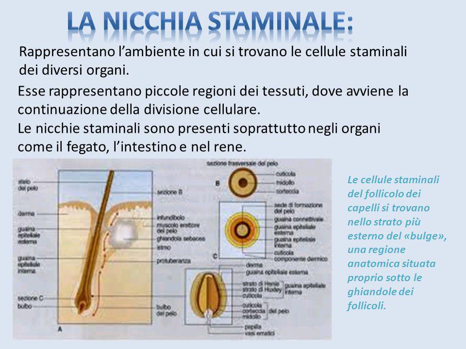 Le staminali adulte si trovano in diversi sedi ben definite chiamati compartimenti staminali, ovvero cellule indifferenziate che si trovano in un tess