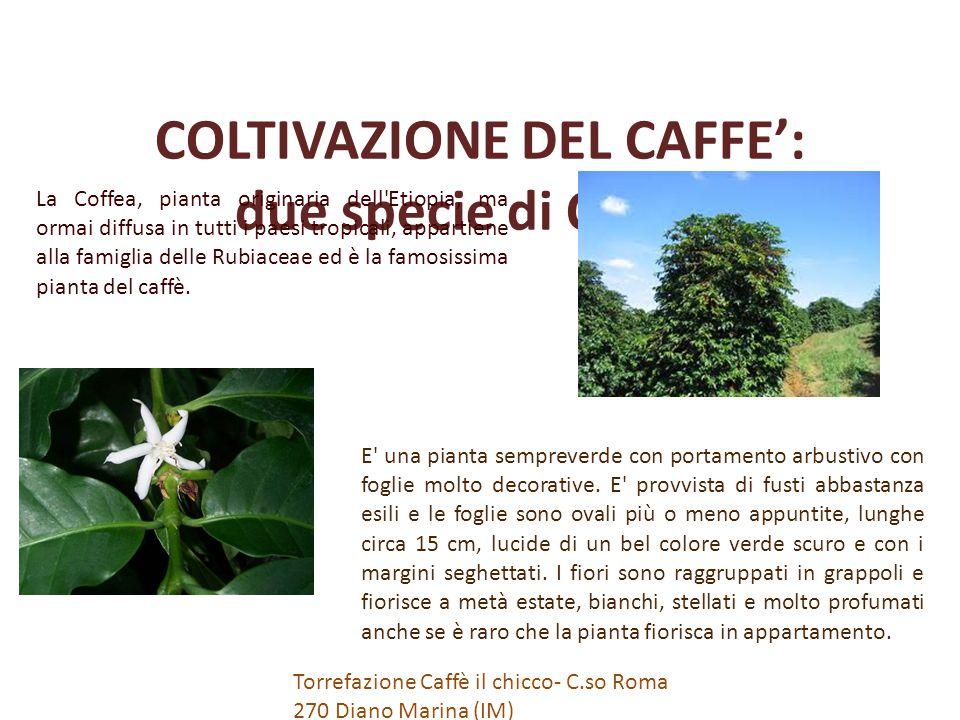 COLTIVAZIONE DEL CAFFE': due specie di Coffea La Coffea, pianta originaria dell Etiopia, ma ormai diffusa in tutti i paesi tropicali, appartiene alla famiglia delle Rubiaceae ed è la famosissima pianta del caffè.