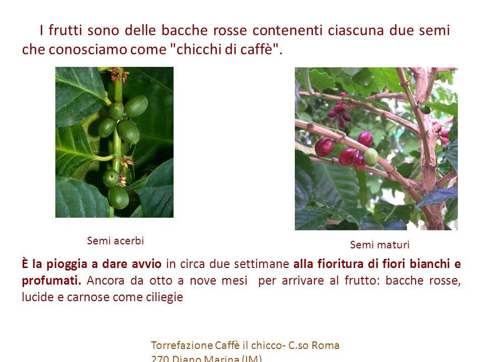 I frutti sono delle bacche rosse contenenti ciascuna due semi che conosciamo come chicchi di caffè .