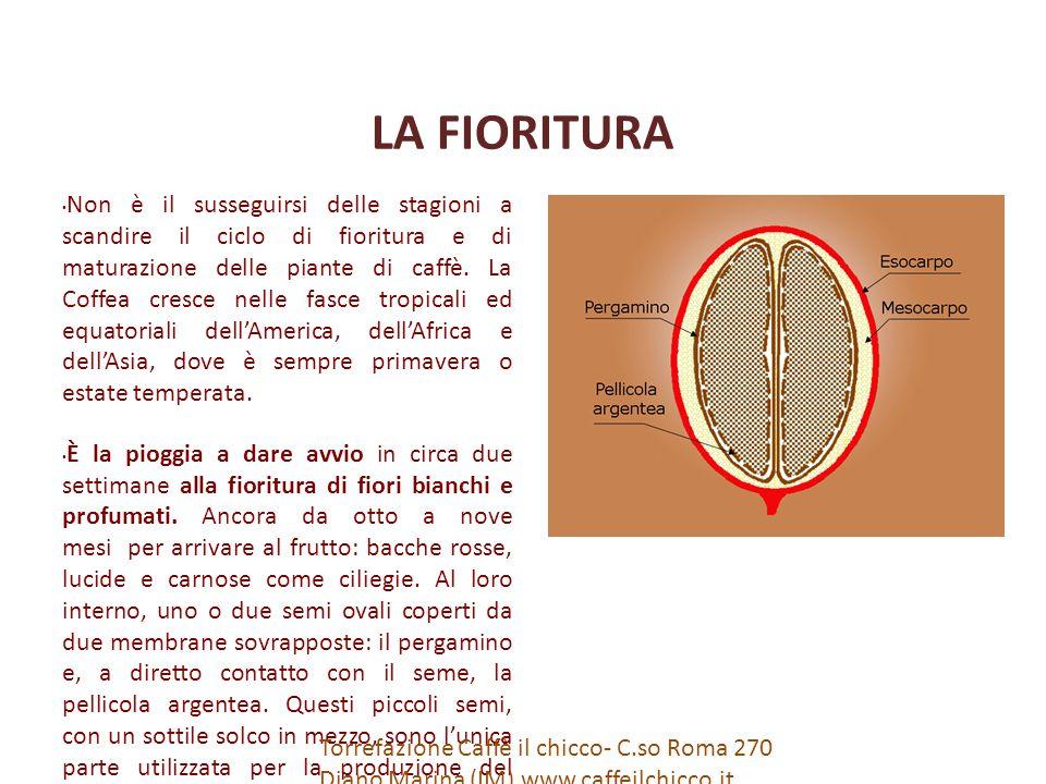 LA FIORITURA Non è il susseguirsi delle stagioni a scandire il ciclo di fioritura e di maturazione delle piante di caffè.