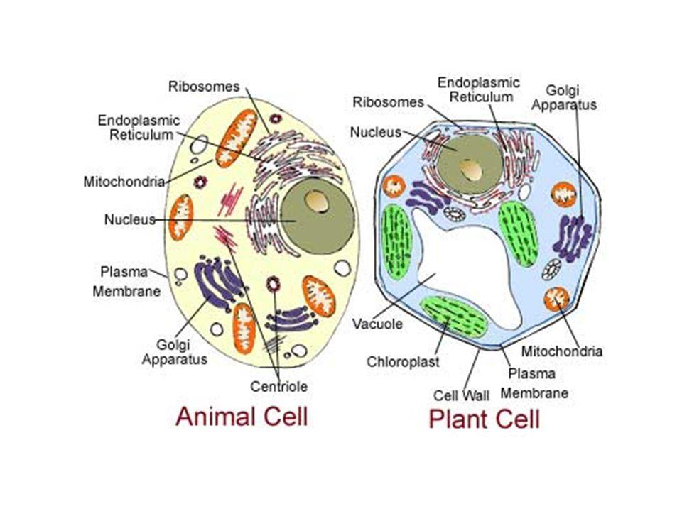 Il reticolo endoplasmatico provvede alla sintesi di proteine e lipidi, l'apparato di Golgi smista questi prodotti verso la membrana o all'esterno, i lisosomi degradano materiale organico di tipo vario (i vacuoli delle piante in parte assomigliano ai lisosomi), i perossisomi degradano lipidi, li trasformano in carboidrati e in particolare utilizzano O₂ per degradare molecole organiche.