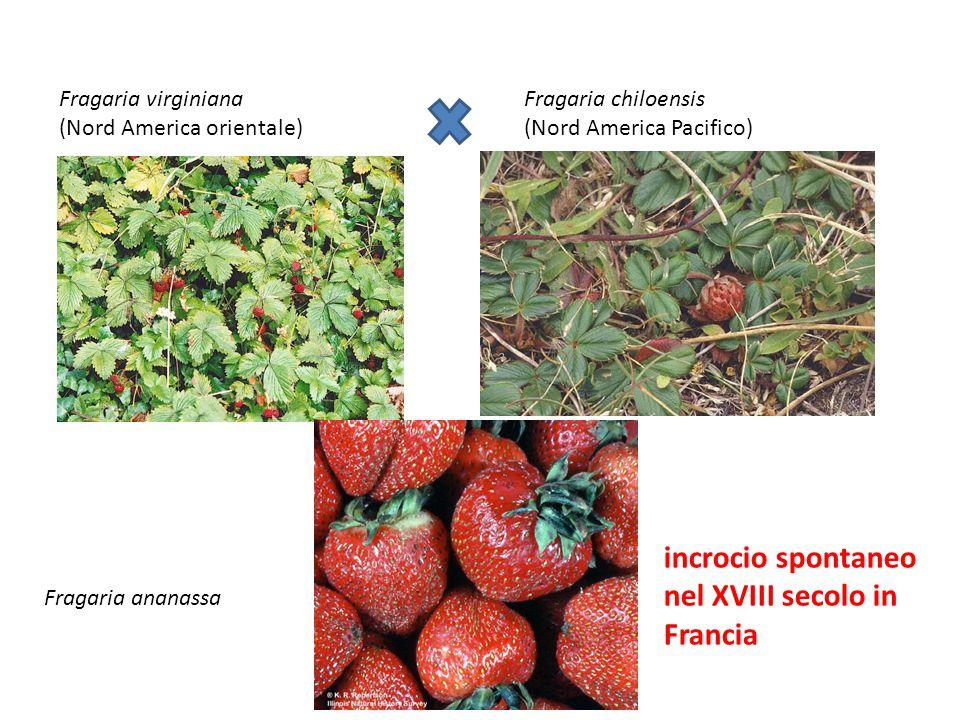 Fragaria virginiana (Nord America orientale) Fragaria chiloensis (Nord America Pacifico) incrocio spontaneo nel XVIII secolo in Francia Fragaria anana