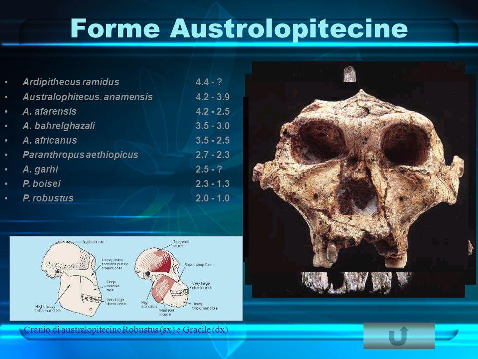 Forme Austrolopitecine Cranio di australopitecine Robustus (sx) e Gracile (dx) Ardipithecus ramidus4.4 - ? Australophitecus. anamensis4.2 - 3.9 A. afa