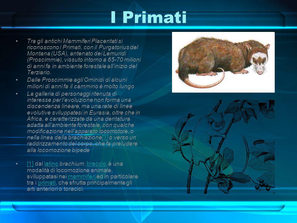 I Primati Tra gli antichi Mammiferi Placentati si riconoscono i Primati, con il Purgatorius del Montana (USA), antenato dei Lemuridi (Proscimmie), vis