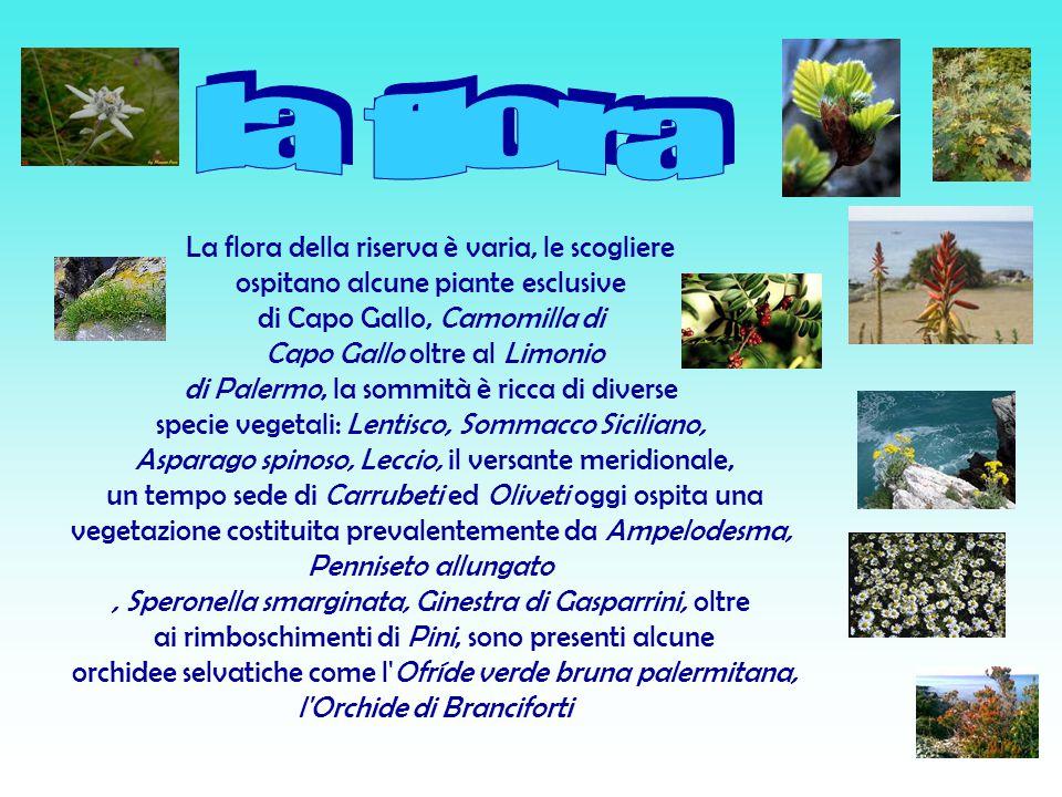 La flora della riserva è varia, le scogliere ospitano alcune piante esclusive di Capo Gallo, Camomilla di Capo Gallo oltre al Limonio di Palermo, la sommità è ricca di diverse specie vegetali: Lentisco, Sommacco Siciliano, Asparago spinoso, Leccio, il versante meridionale, un tempo sede di Carrubeti ed Oliveti oggi ospita una vegetazione costituita prevalentemente da Ampelodesma, Penniseto allungato, Speronella smarginata, Ginestra di Gasparrini, oltre ai rimboschimenti di Pini, sono presenti alcune orchidee selvatiche come l Ofríde verde bruna palermitana, l Orchide di Branciforti
