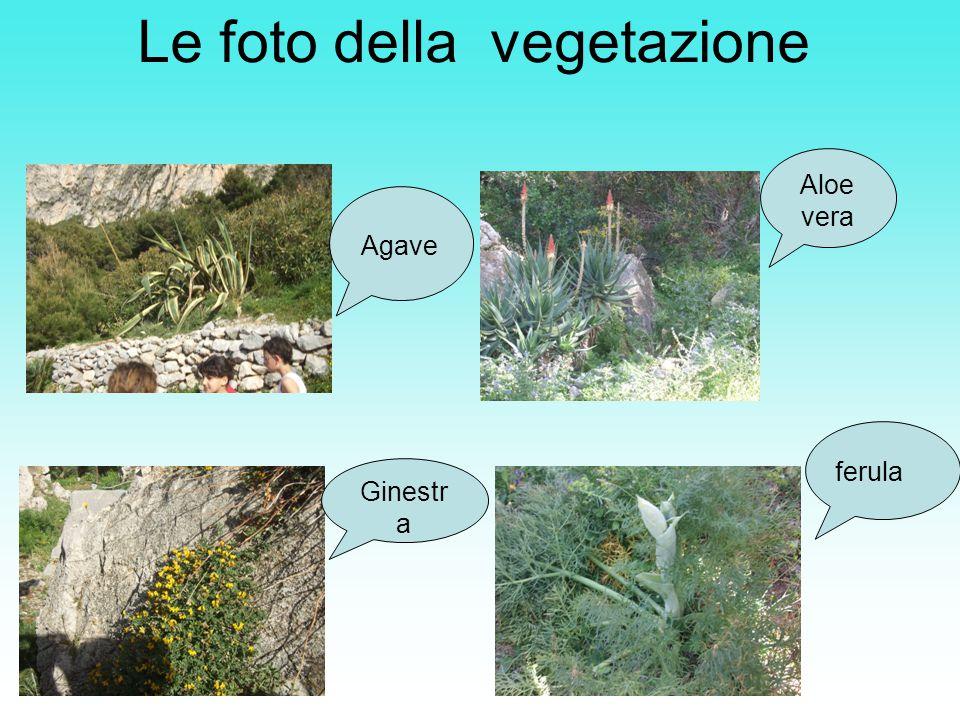 Le foto della vegetazione Agave Aloe vera Ginestr a ferula