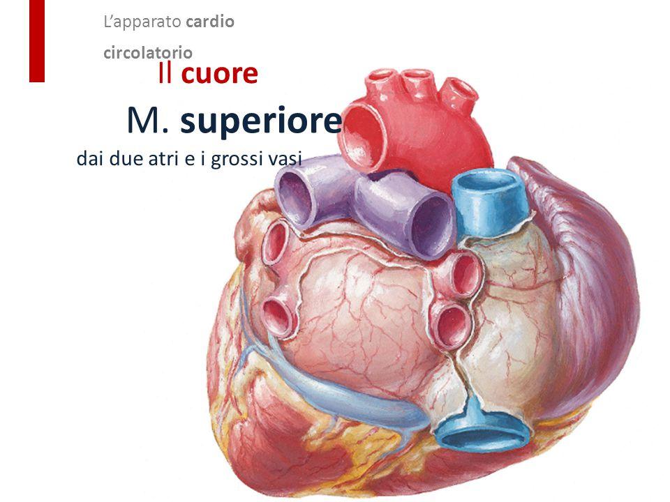 L'apparato cardio circolatorio Il cuore M. superiore dai due atri e i grossi vasi