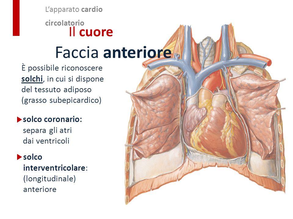 L'apparato cardio circolatorio Il cuore Faccia anteriore È possibile riconoscere solchi, in cui si dispone del tessuto adiposo (grasso subepicardico)