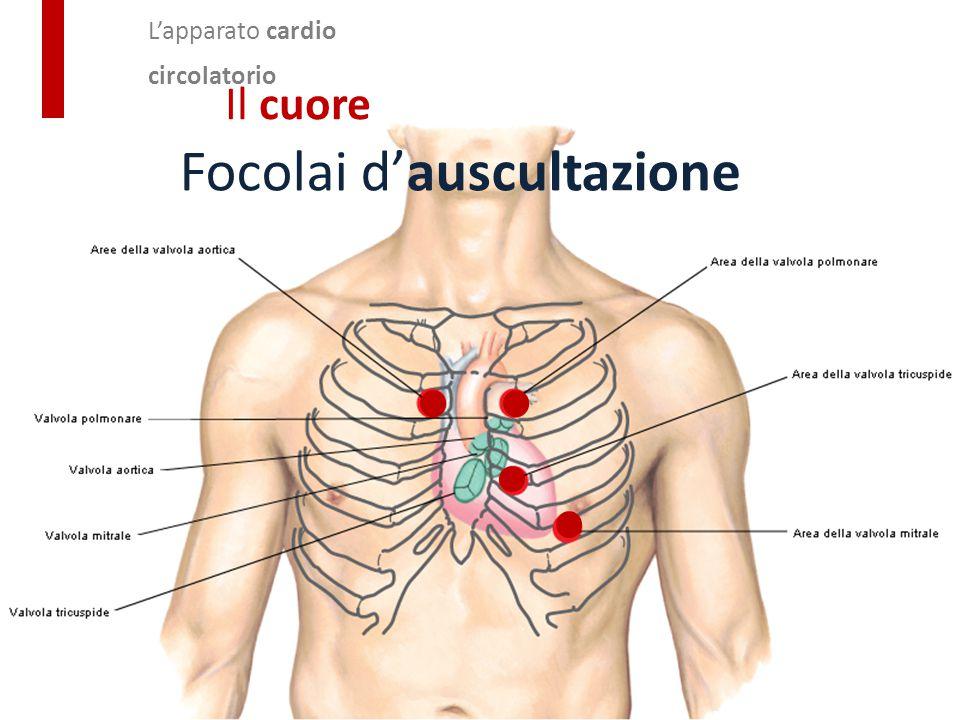 L'apparato cardio circolatorio Il cuore Focolai d'auscultazione