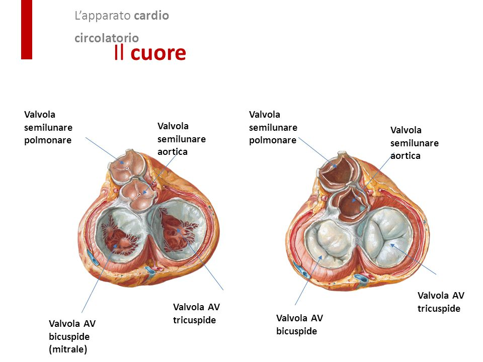 Valvola semilunare polmonare Valvola semilunare aortica Valvola semilunare polmonare Valvola AV bicuspide (mitrale) Valvola AV tricuspide Valvola AV b