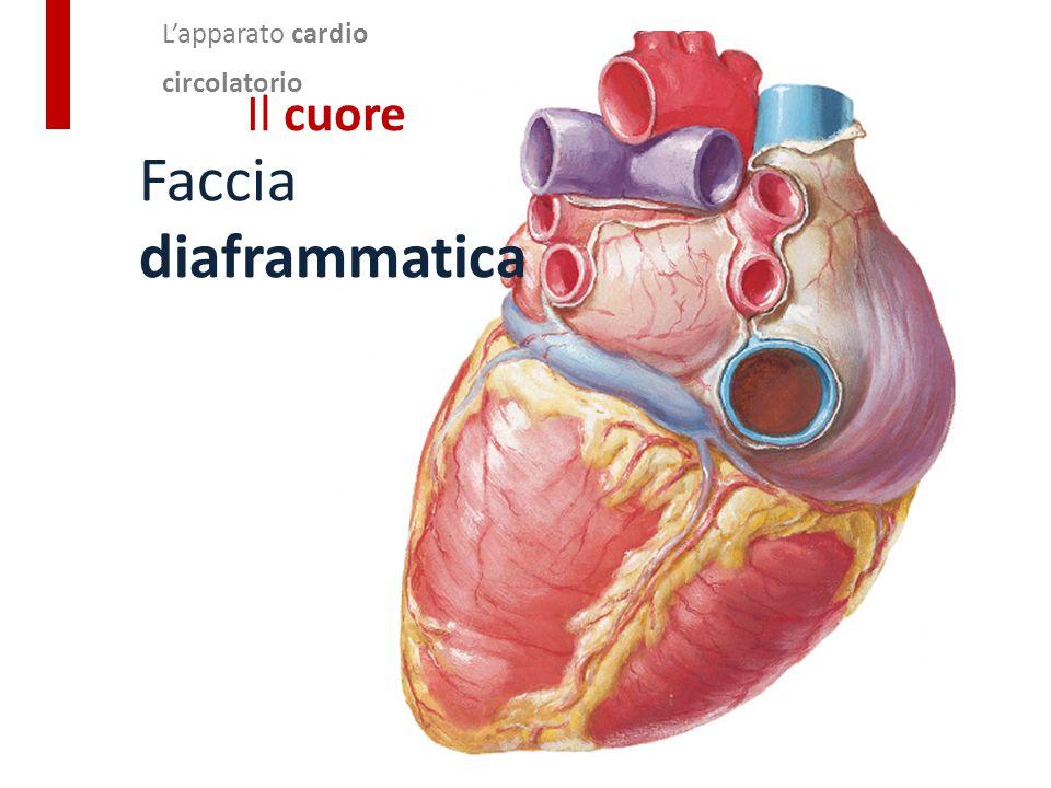 L'apparato cardio circolatorio Il cuore Faccia diaframmatica