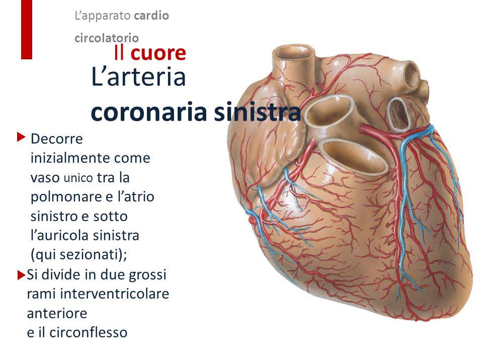 Decorre inizialmente come vaso unico tra la polmonare e l'atrio sinistro e sotto l'auricola sinistra (qui sezionati); L'apparato cardio circolatorio I