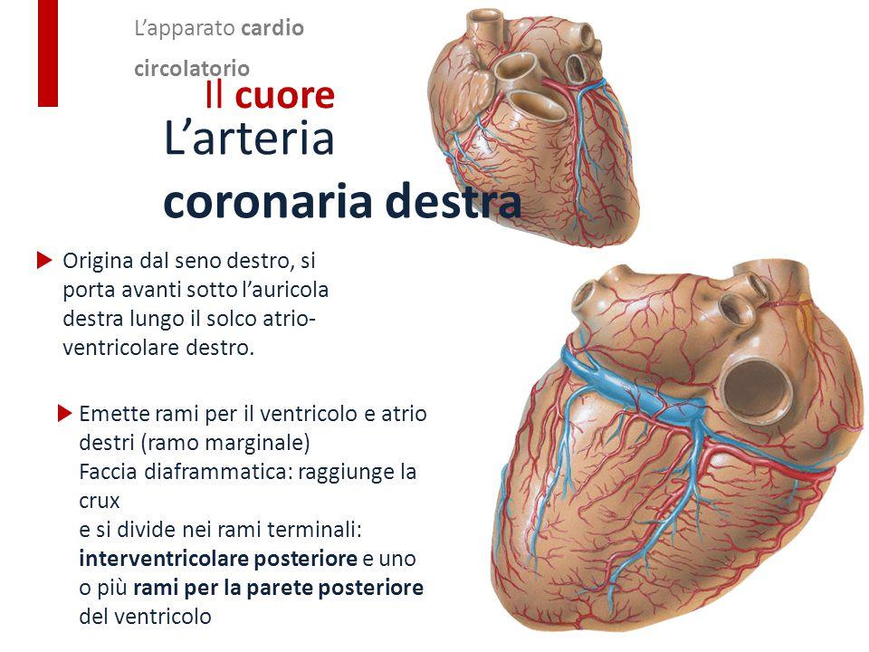 Origina dal seno destro, si porta avanti sotto l'auricola destra lungo il solco atrio- ventricolare destro. L'apparato cardio circolatorio Il cuore L'