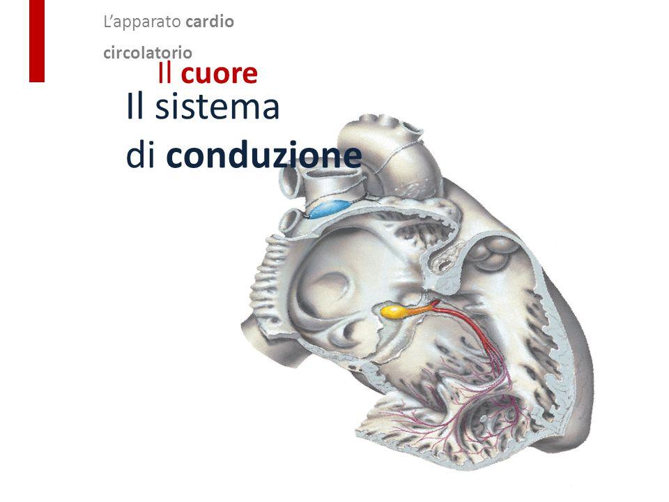 L'apparato cardio circolatorio Il cuore Il sistema di conduzione Per