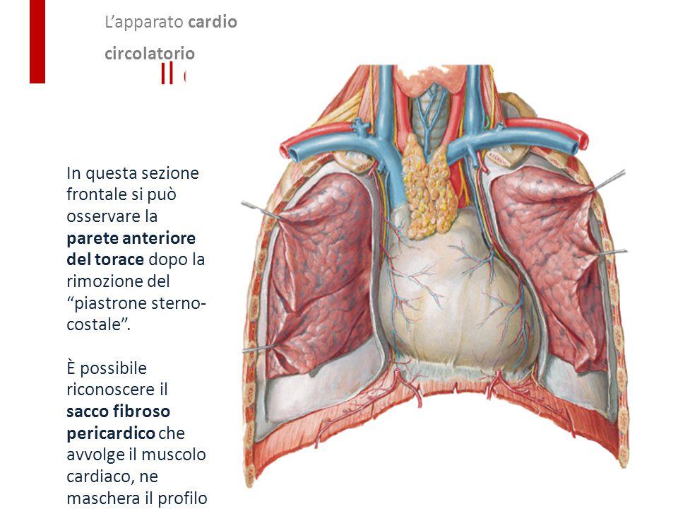 """L'apparato cardio circolatorio Il cuore In questa sezione frontale si può osservare la parete anteriore del torace dopo la rimozione del """"piastrone st"""