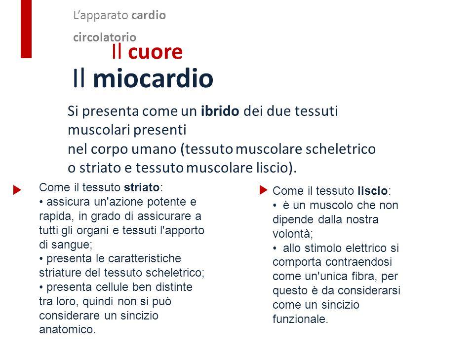 Il miocardio Si presenta come un ibrido dei due tessuti muscolari presenti nel corpo umano (tessuto muscolare scheletrico o striato e tessuto muscolar