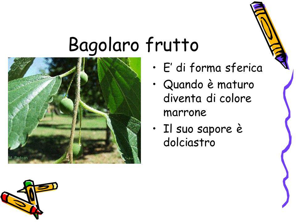 Bagolaro frutto E' di forma sferica Quando è maturo diventa di colore marrone Il suo sapore è dolciastro