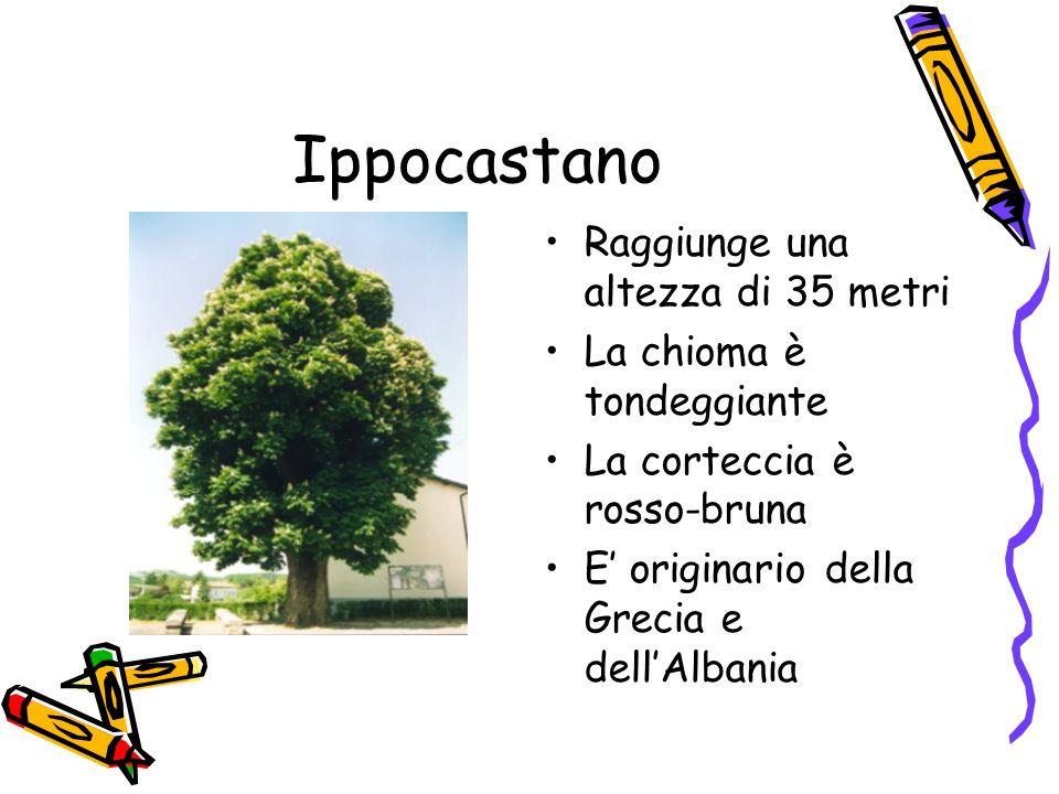 Ippocastano Raggiunge una altezza di 35 metri La chioma è tondeggiante La corteccia è rosso-bruna E' originario della Grecia e dell'Albania