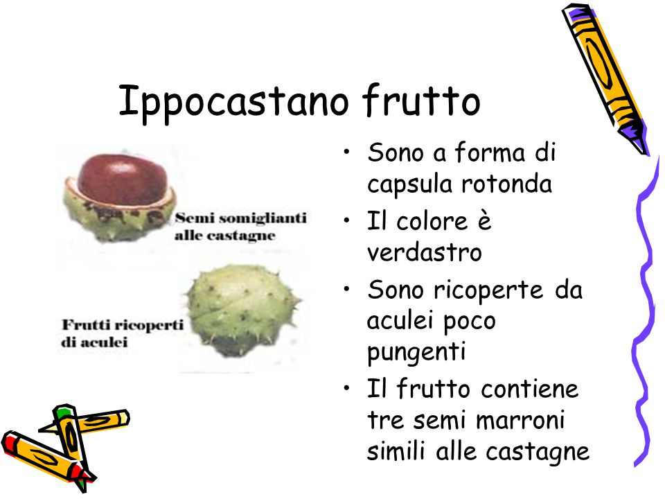 Ippocastano frutto Sono a forma di capsula rotonda Il colore è verdastro Sono ricoperte da aculei poco pungenti Il frutto contiene tre semi marroni simili alle castagne