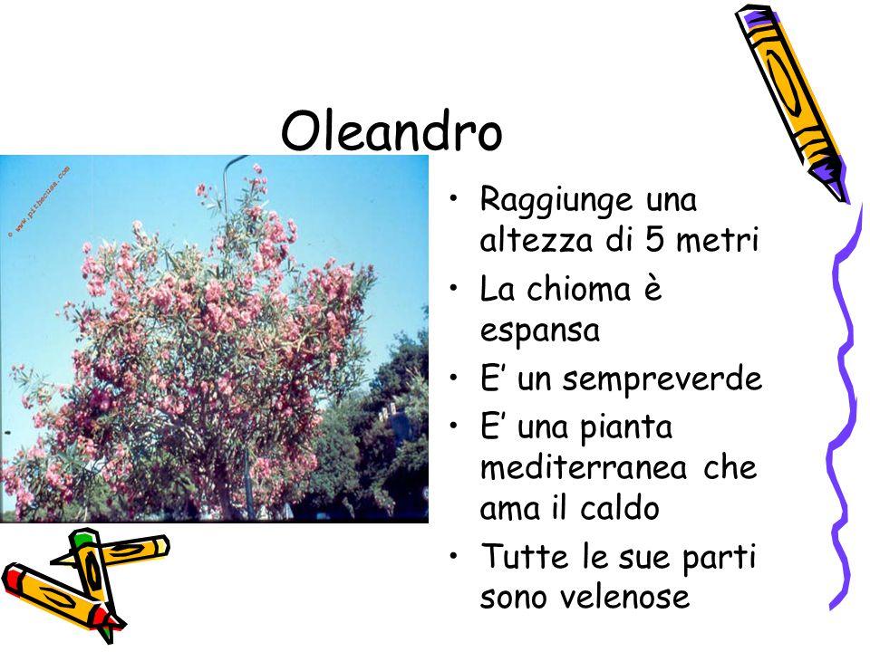 Oleandro Raggiunge una altezza di 5 metri La chioma è espansa E' un sempreverde E' una pianta mediterranea che ama il caldo Tutte le sue parti sono velenose