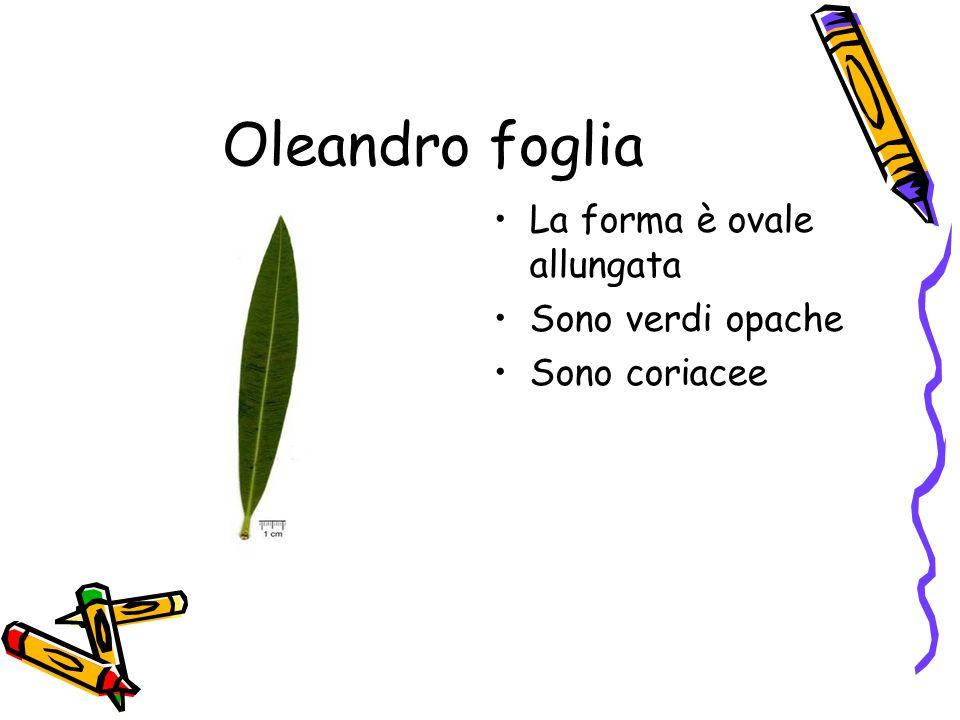Oleandro foglia La forma è ovale allungata Sono verdi opache Sono coriacee