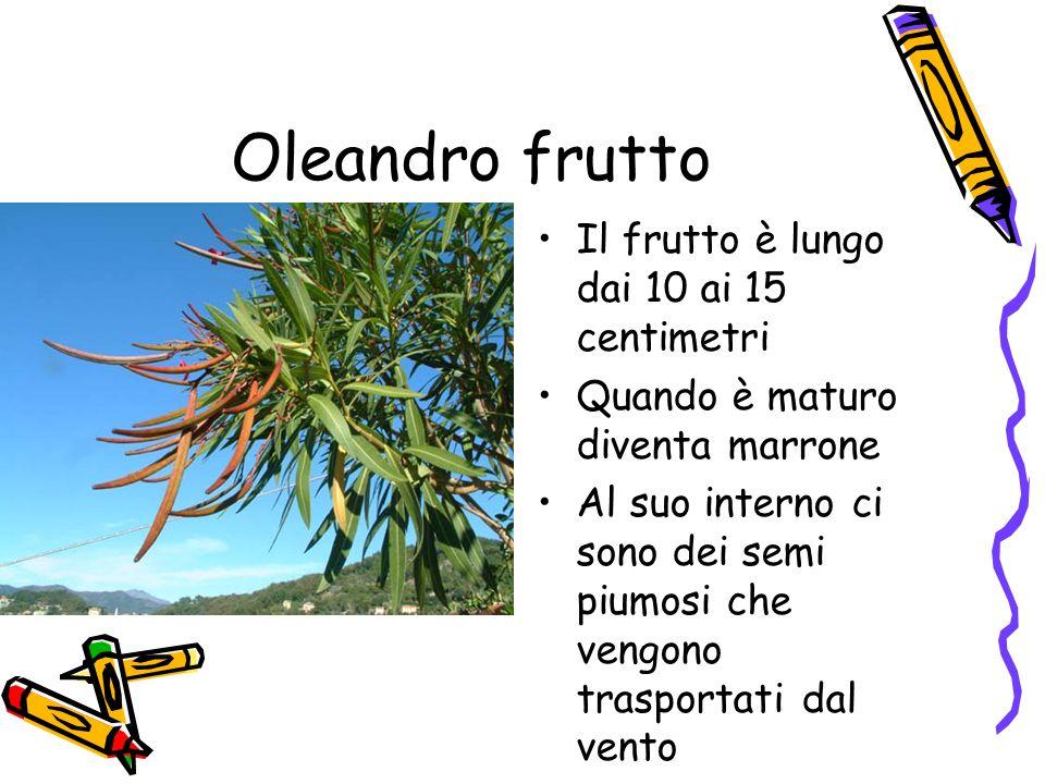Oleandro frutto Il frutto è lungo dai 10 ai 15 centimetri Quando è maturo diventa marrone Al suo interno ci sono dei semi piumosi che vengono trasportati dal vento