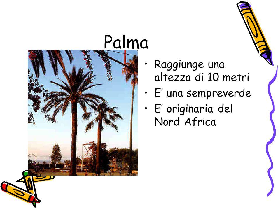 Palma Raggiunge una altezza di 10 metri E' una sempreverde E' originaria del Nord Africa