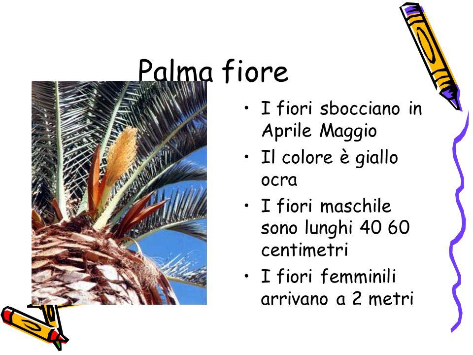 Palma fiore I fiori sbocciano in Aprile Maggio Il colore è giallo ocra I fiori maschile sono lunghi 40 60 centimetri I fiori femminili arrivano a 2 metri