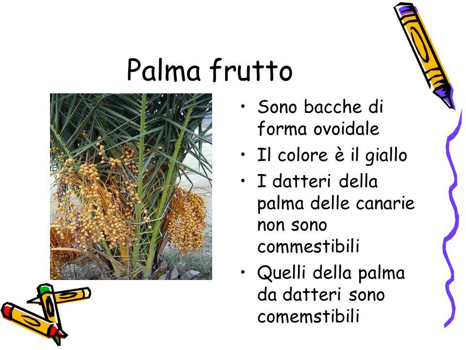 Palma frutto Sono bacche di forma ovoidale Il colore è il giallo I datteri della palma delle canarie non sono commestibili Quelli della palma da datteri sono comemstibili