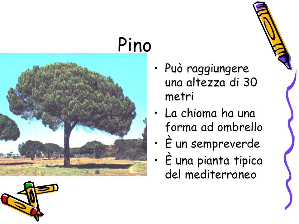 Pino Può raggiungere una altezza di 30 metri La chioma ha una forma ad ombrello È un sempreverde È una pianta tipica del mediterraneo