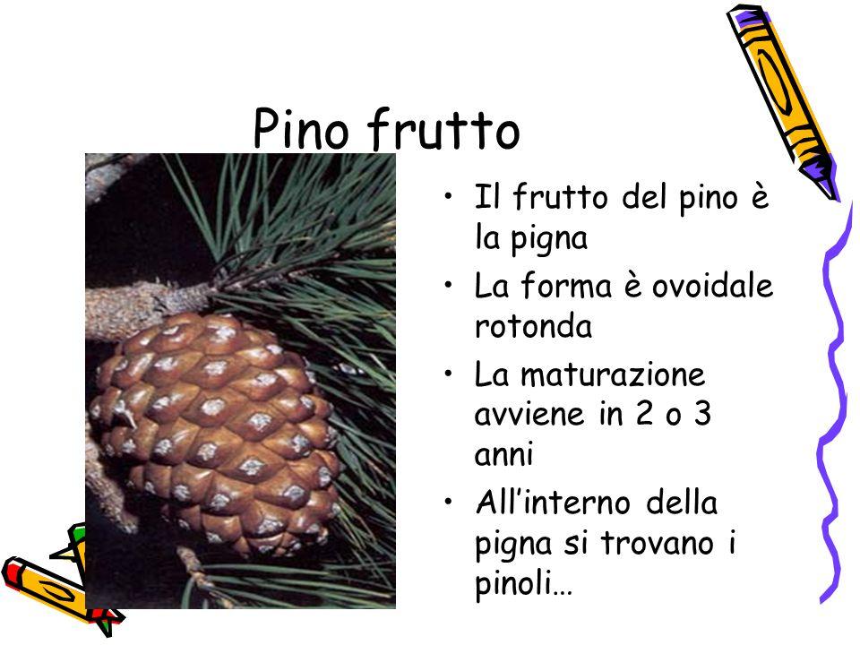 Pino frutto Il frutto del pino è la pigna La forma è ovoidale rotonda La maturazione avviene in 2 o 3 anni All'interno della pigna si trovano i pinoli…