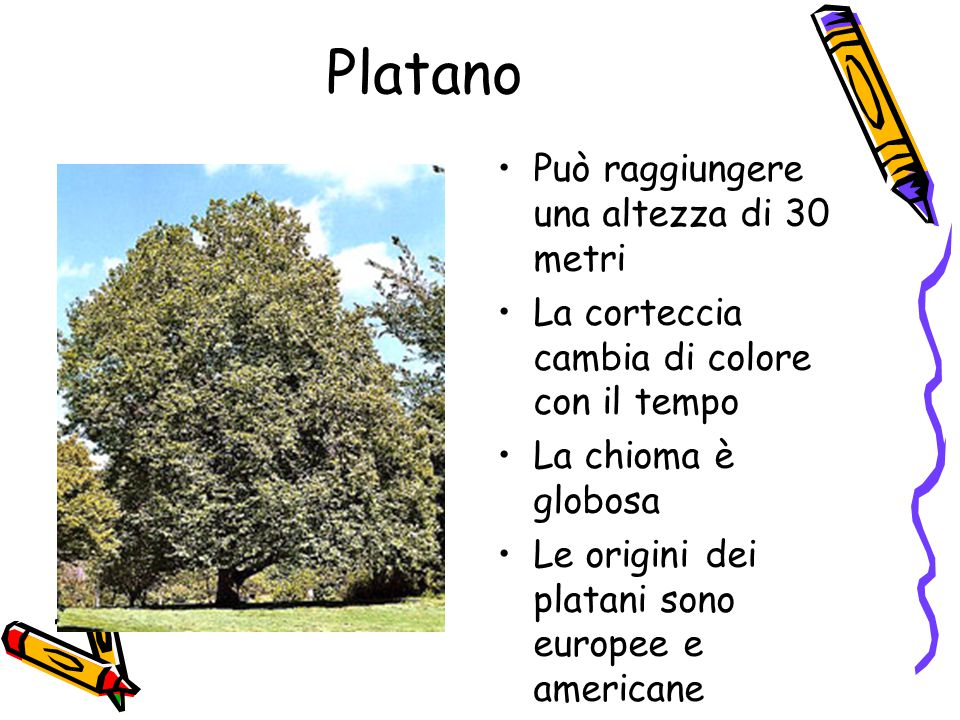 Platano Può raggiungere una altezza di 30 metri La corteccia cambia di colore con il tempo La chioma è globosa Le origini dei platani sono europee e americane