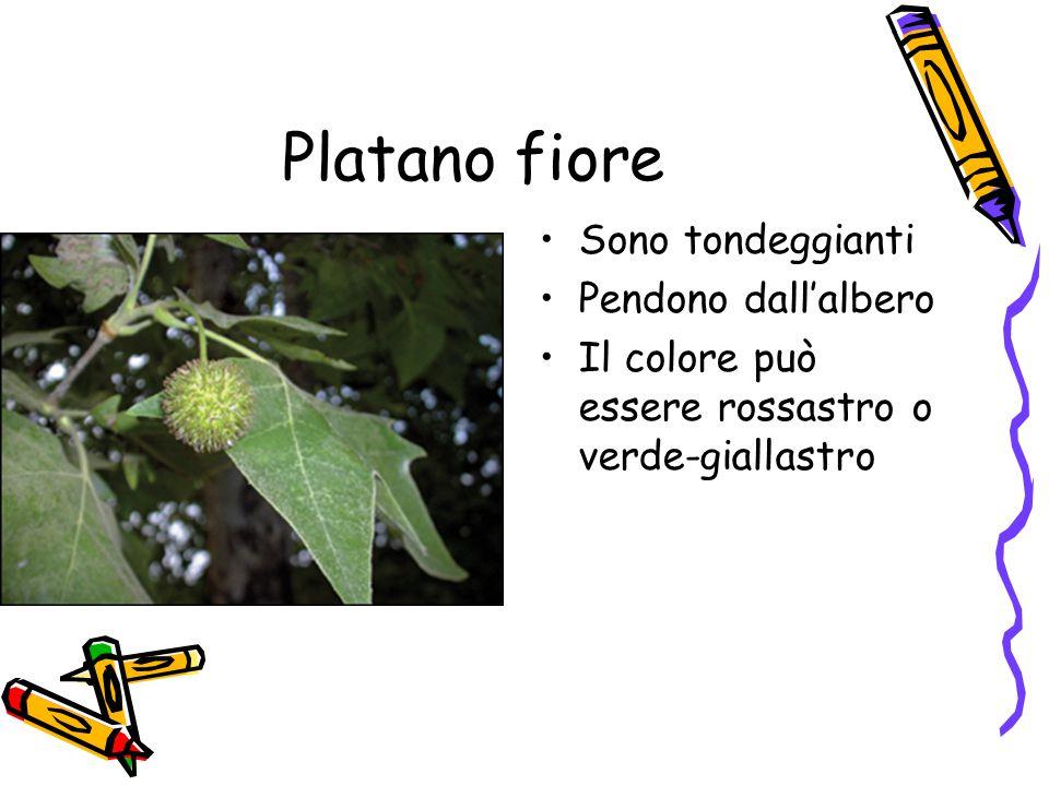 Platano fiore Sono tondeggianti Pendono dall'albero Il colore può essere rossastro o verde-giallastro