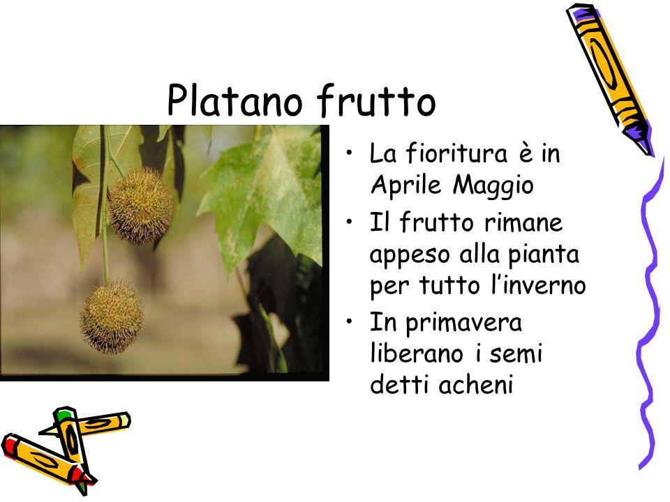 Platano frutto La fioritura è in Aprile Maggio Il frutto rimane appeso alla pianta per tutto l'inverno In primavera liberano i semi detti acheni
