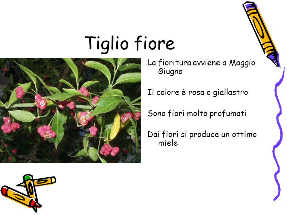 Tiglio fiore La fioritura avviene a Maggio Giugno Il colore è rosa o giallastro Sono fiori molto profumati Dai fiori si produce un ottimo miele