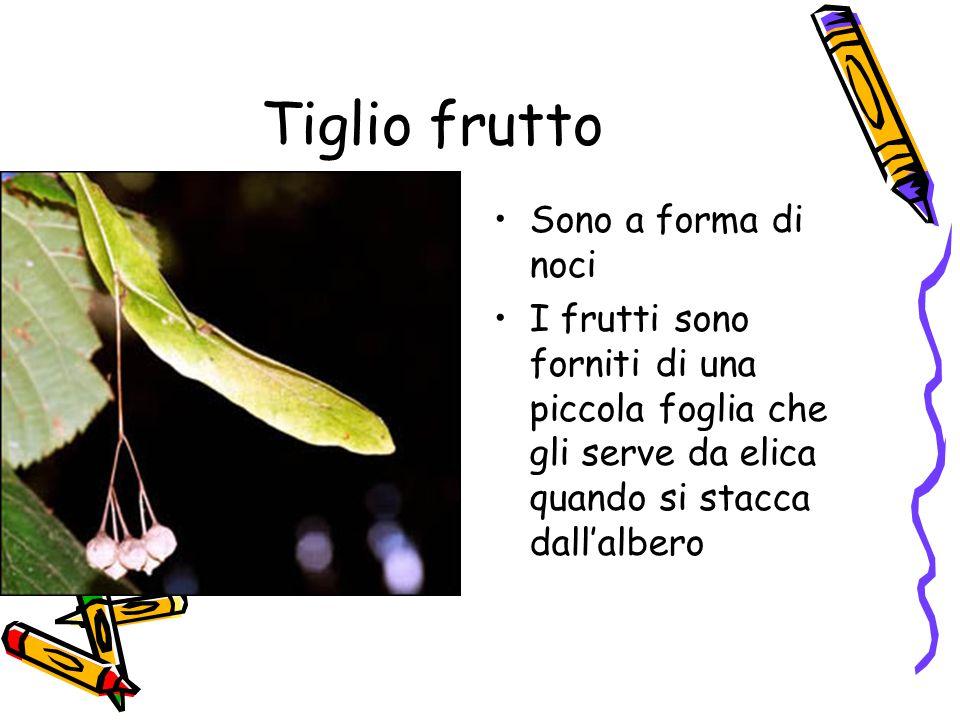 Tiglio frutto Sono a forma di noci I frutti sono forniti di una piccola foglia che gli serve da elica quando si stacca dall'albero