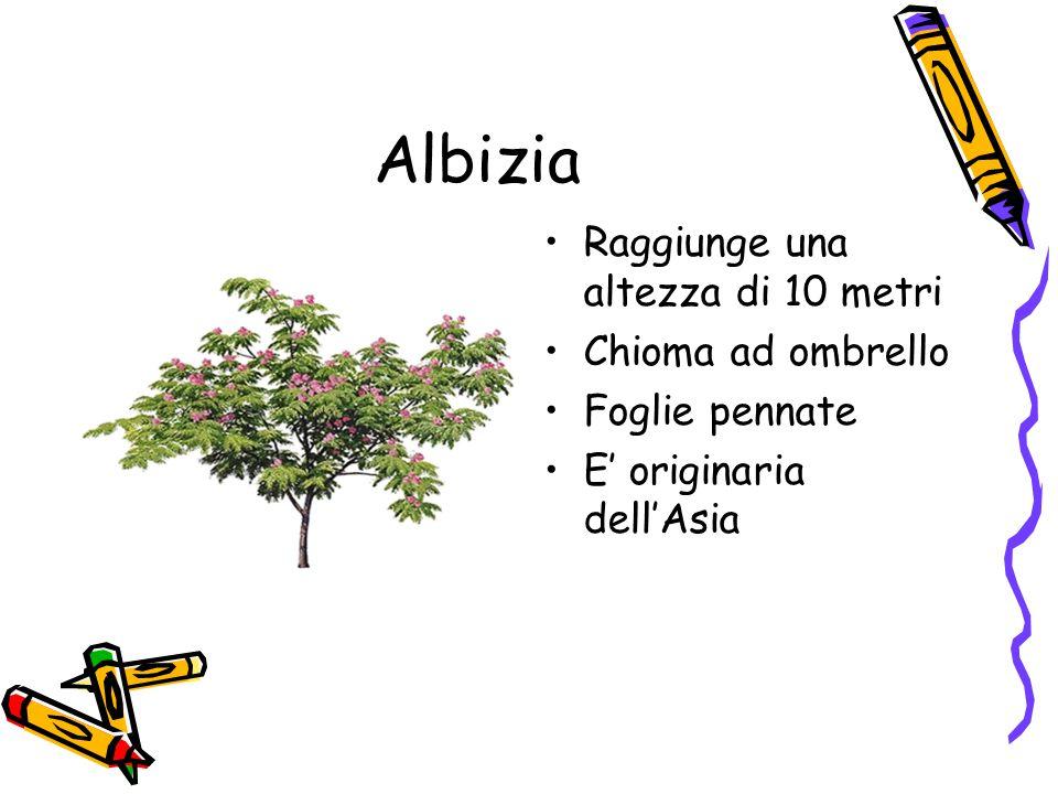 Albizia Raggiunge una altezza di 10 metri Chioma ad ombrello Foglie pennate E' originaria dell'Asia