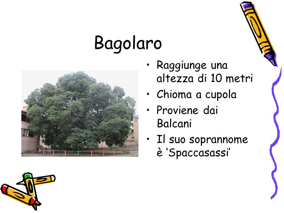Bagolaro Raggiunge una altezza di 10 metri Chioma a cupola Proviene dai Balcani Il suo soprannome è 'Spaccasassi'