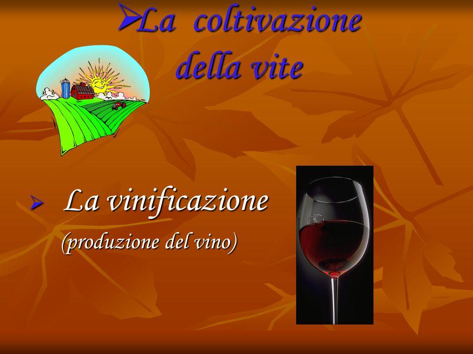  La coltivazione della vite  La vinificazione (produzione del vino)