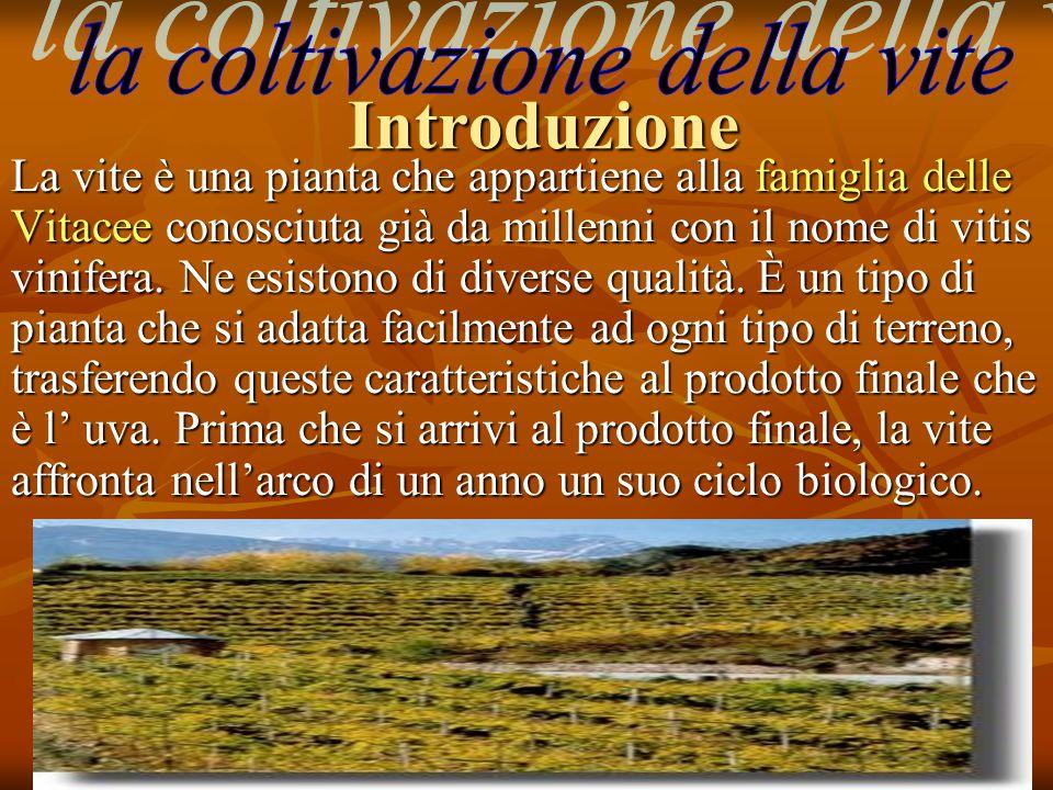 Introduzione La vite è una pianta che appartiene alla famiglia delle Vitacee conosciuta già da millenni con il nome di vitis vinifera. Ne esistono di