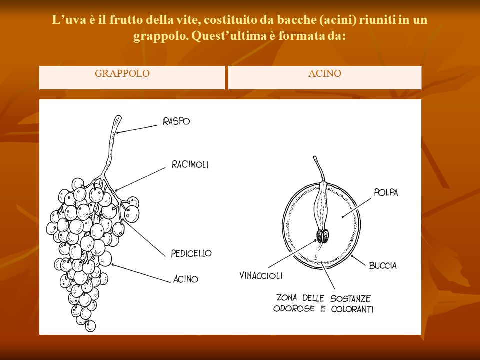L'uva è il frutto della vite, costituito da bacche (acini) riuniti in un grappolo. Quest'ultima è formata da: GRAPPOLOACINO